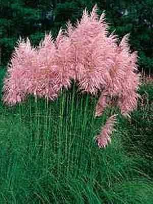 cortaderia-selloana-rosea